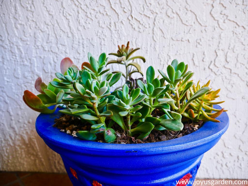 How To Transplant Succulents Into Pots Joy Us Garden Transplant Succulents Replanting Succulents Succulents