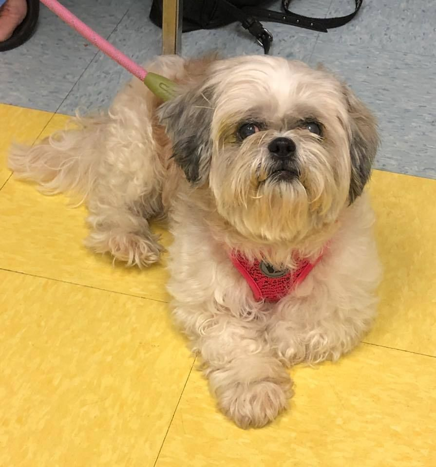 Adopt Sasha On Dogs Shih Tzu Dog Shih Tzu
