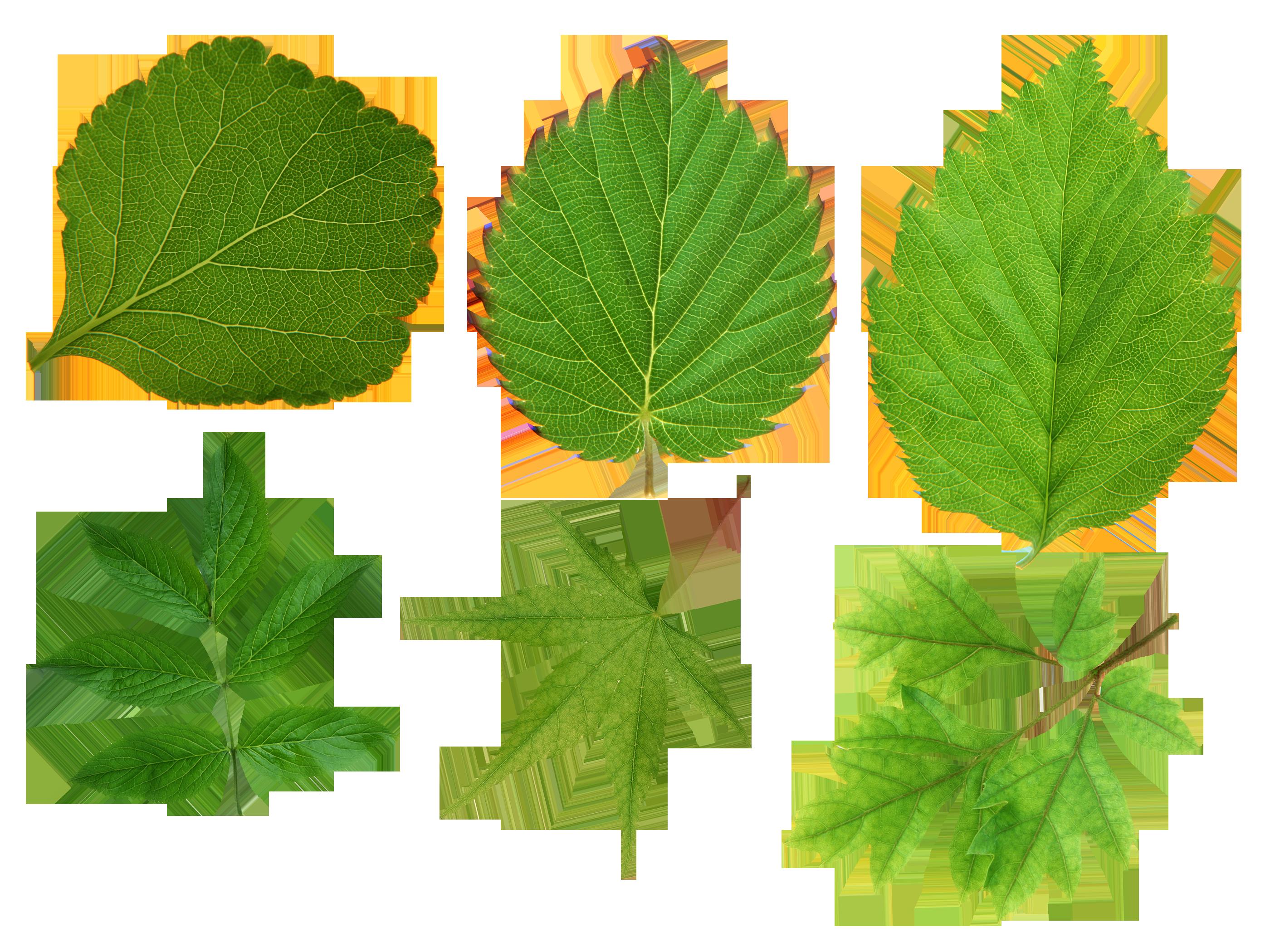 Green Leaves Png Image Green Leaves Leaves Green Leaf Background