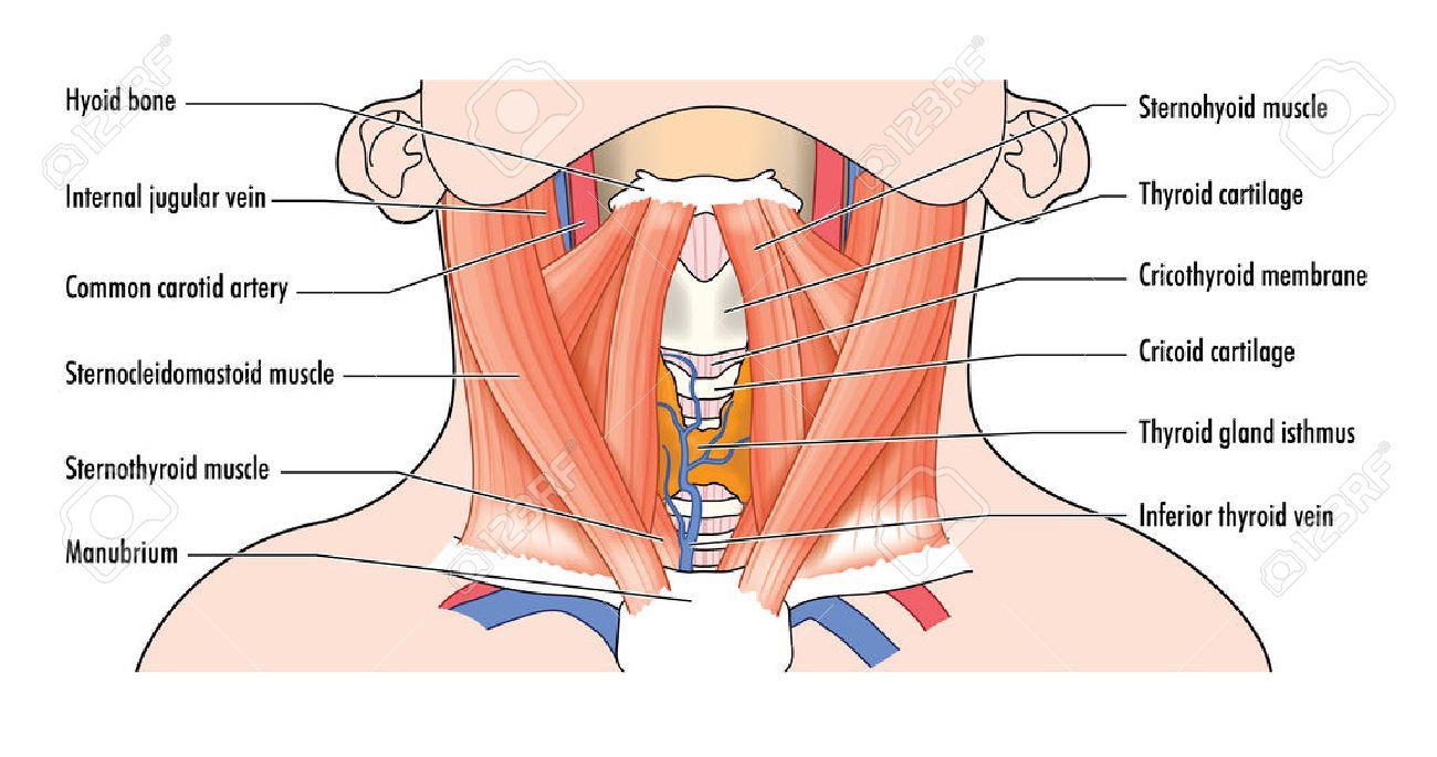 29268703 dessin de montrer les muscles ant rieurs de la structure du cou et des voies. Black Bedroom Furniture Sets. Home Design Ideas