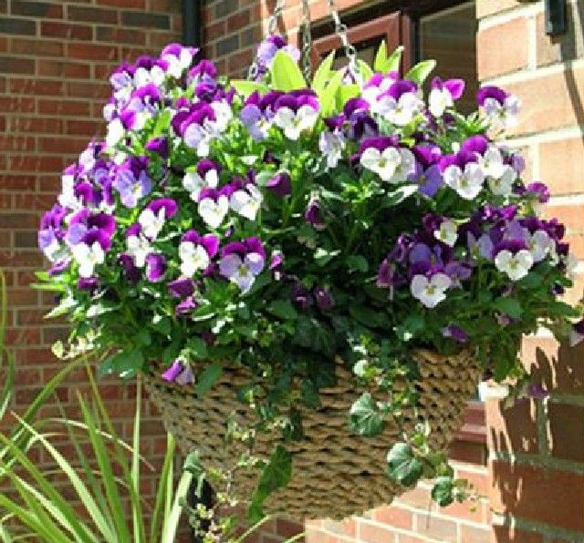 Violas can make themselves at home almost anywhere – they love the cooler temperatures and are a great plant for Spring and Autumn hanging baskets.