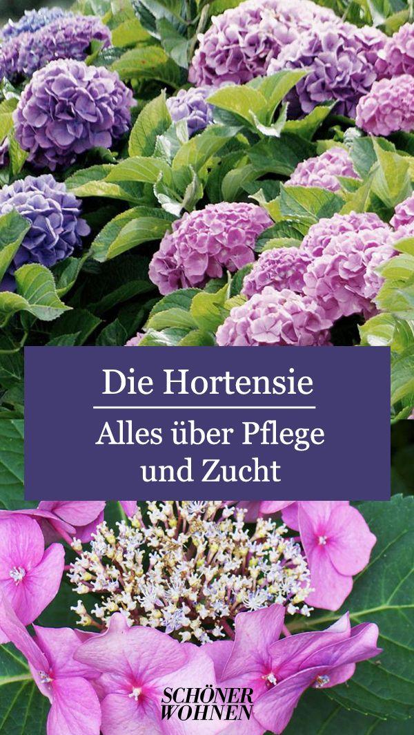 Die Hortensie