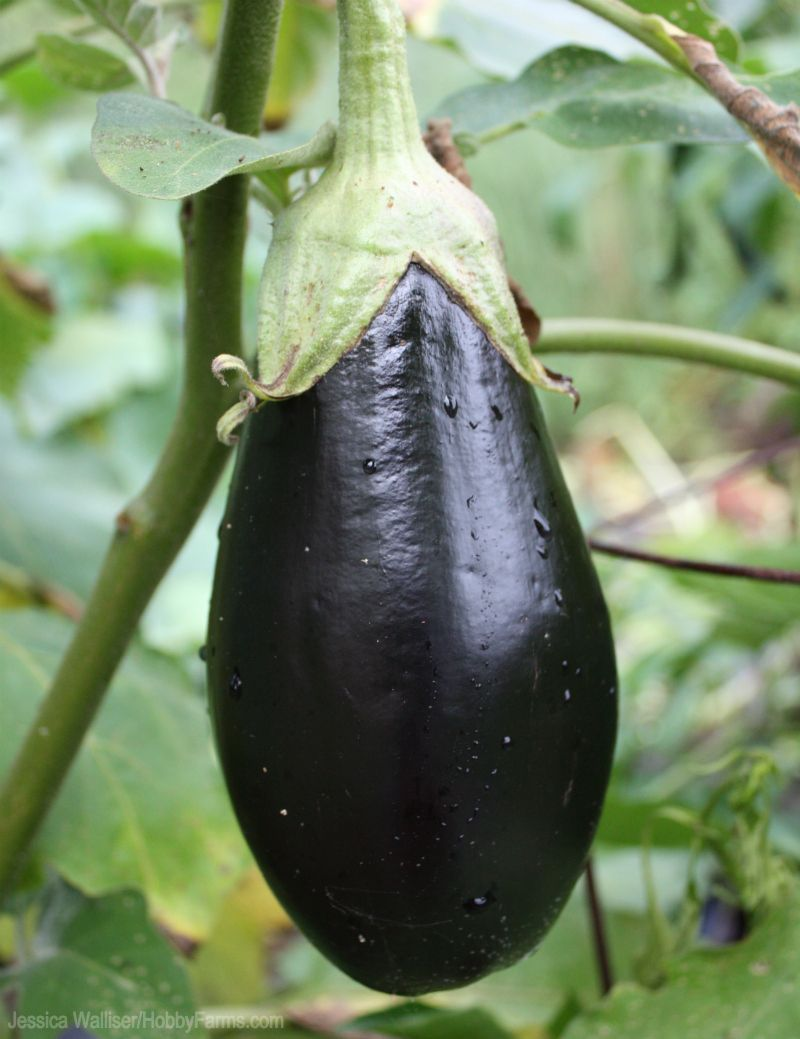 If Eggplants Are On This Year's Must Grow List Get The 400 x 300