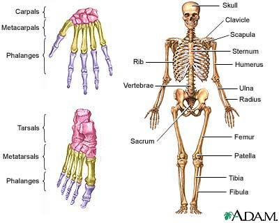 Vocabulary skeleton english vocabulary pinterest skeletons diagram of human muscles system human body muscle diagram ccuart Image collections