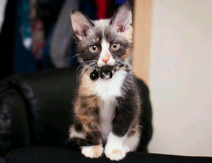 Adorable Tuxedo Calico Kitten Gatito