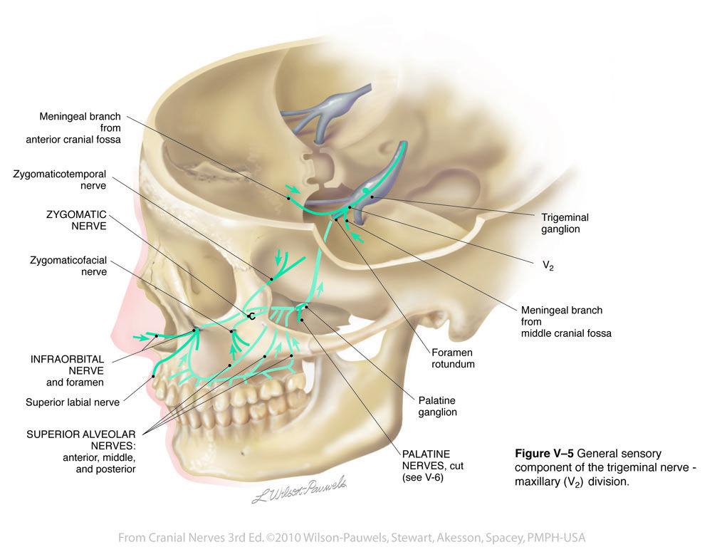 Trigeminalneuralgia Anatomy Pinterest Cranial Nerves And Medicine