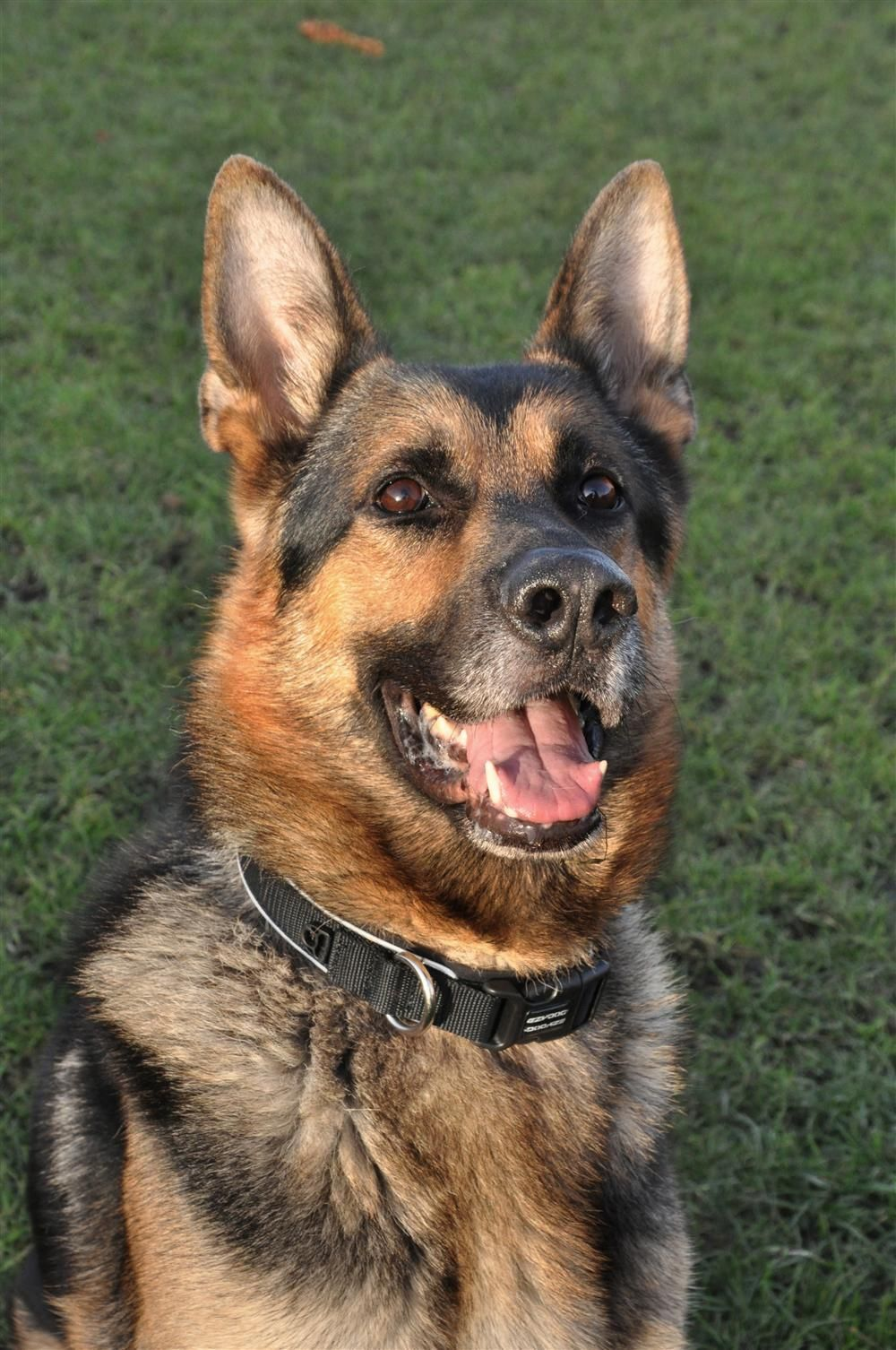 Pin On Dogs Shepherds In Rescue