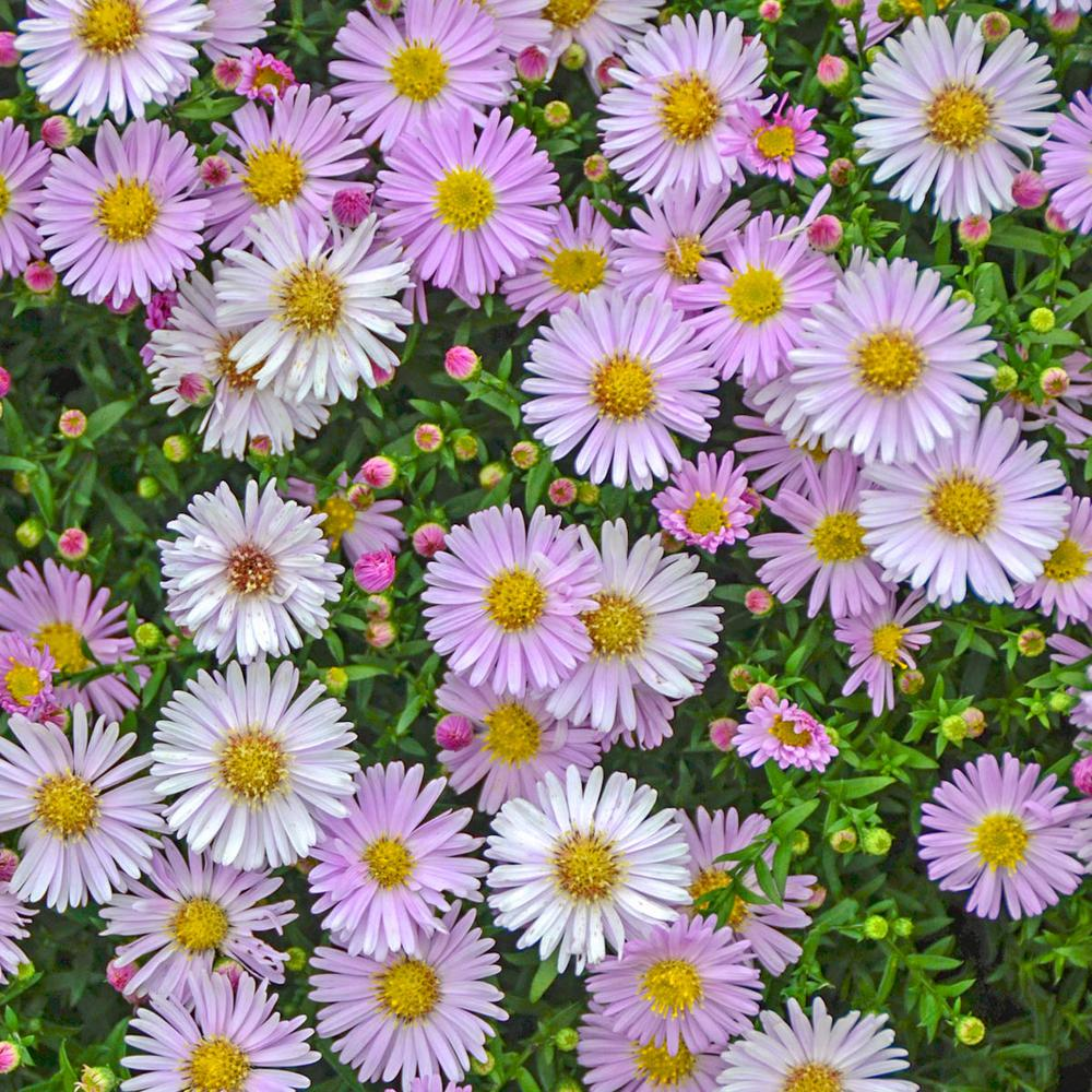 Spring Hill Nurseries 2 In Pot Pink Chiffon Kickin Aster Live Deciduous Plant Pink Colored Perennial 1 Pack 60814 Th Spring Hill Nursery Plants Perennials