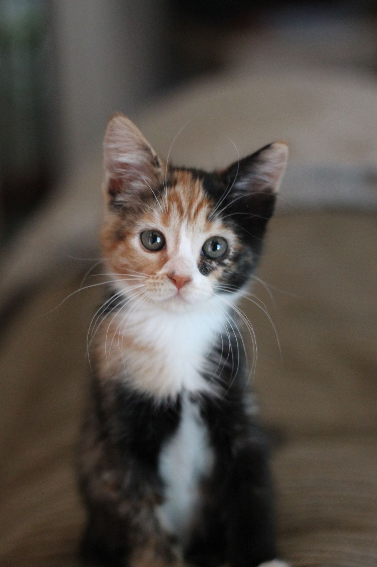 What A Sweet Little Calico Baby And Like Omg Get Some Yourself Some Pawtastic Adorable Cat Apparel Cats Cute Cats Pretty Cats