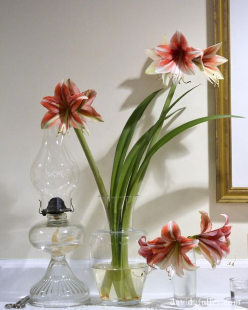 Onthefifthdayofchristmas Amaryllis Cutflowers Blooming Floral Simple Stilllife Nikond7100 Christmas Garden Amaryllis Flower Arrangements