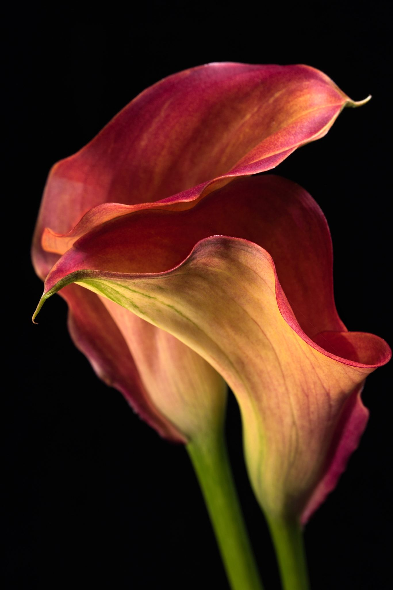 Two Callas A Fine Art Image Of Two Beautiful Calla Lily Flowers