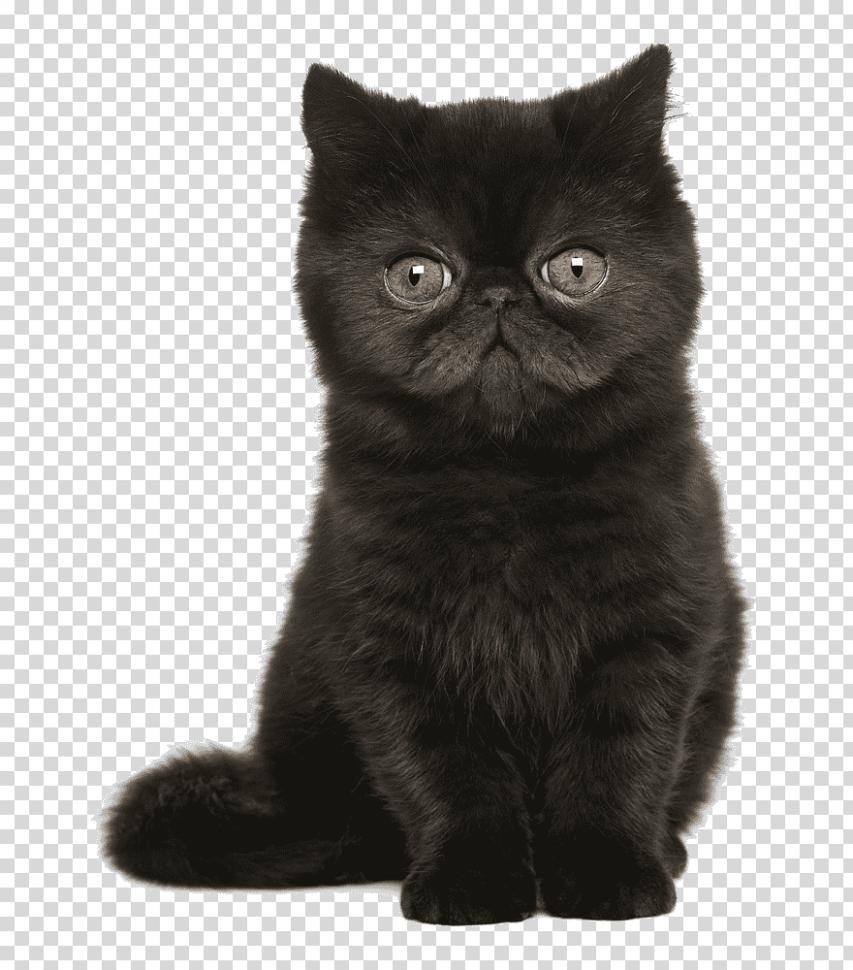 9 Best Persian Cat British Shorthair Pictures in 2020