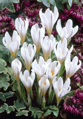 Pin On White Crocus In All Their Beauty