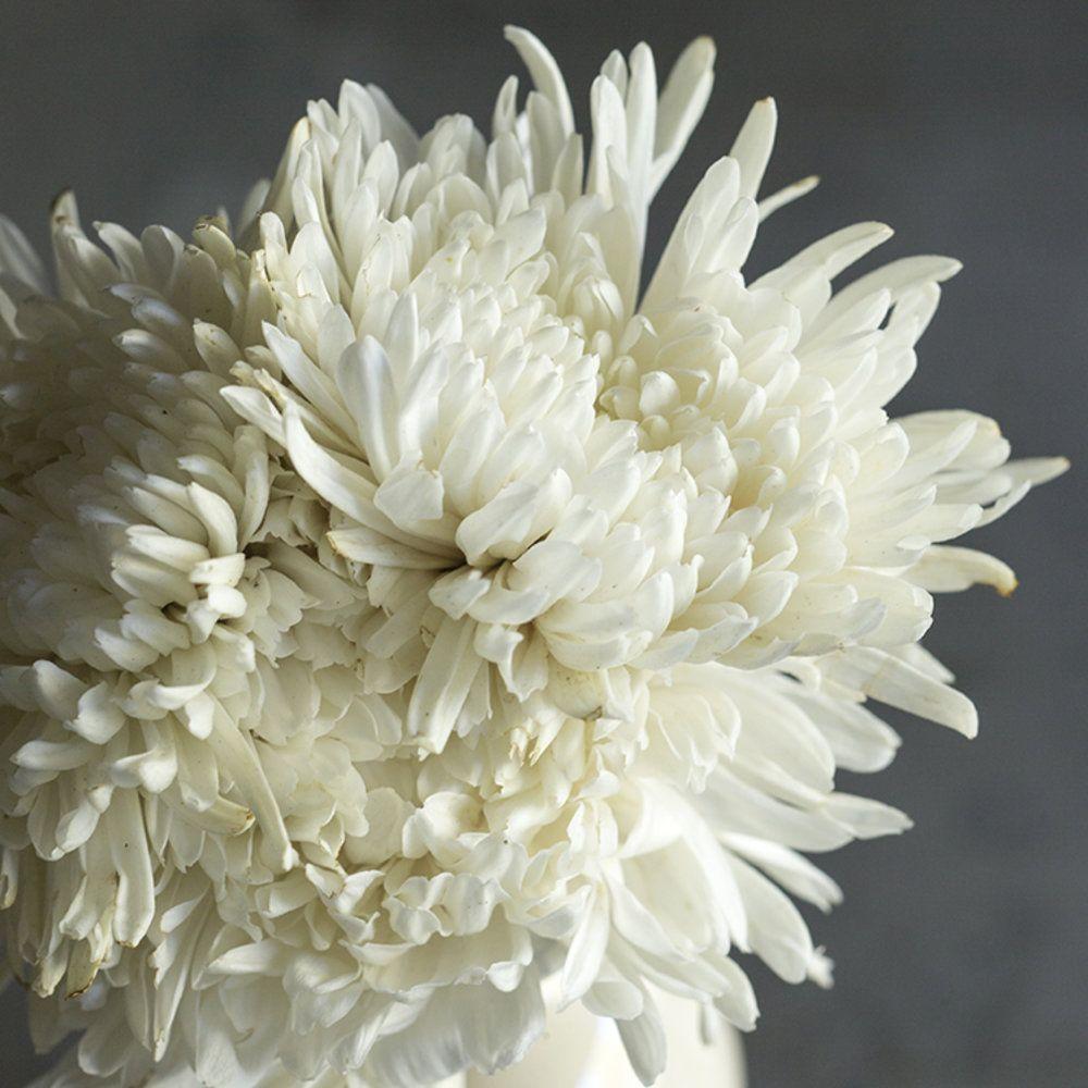 Lone Star Chrysanthemum Plant Chrysanthemum Flowers