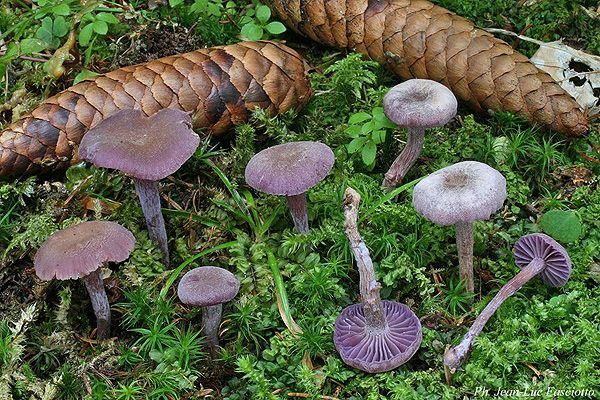 Laccaria amethystina laccaire am thyste forest floor - Cuisiner la coulemelle ...