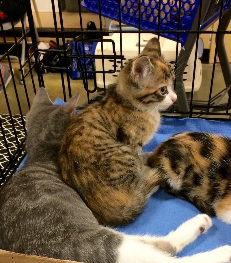 Adopt Hayley on Animals, Pet adoption, Cats