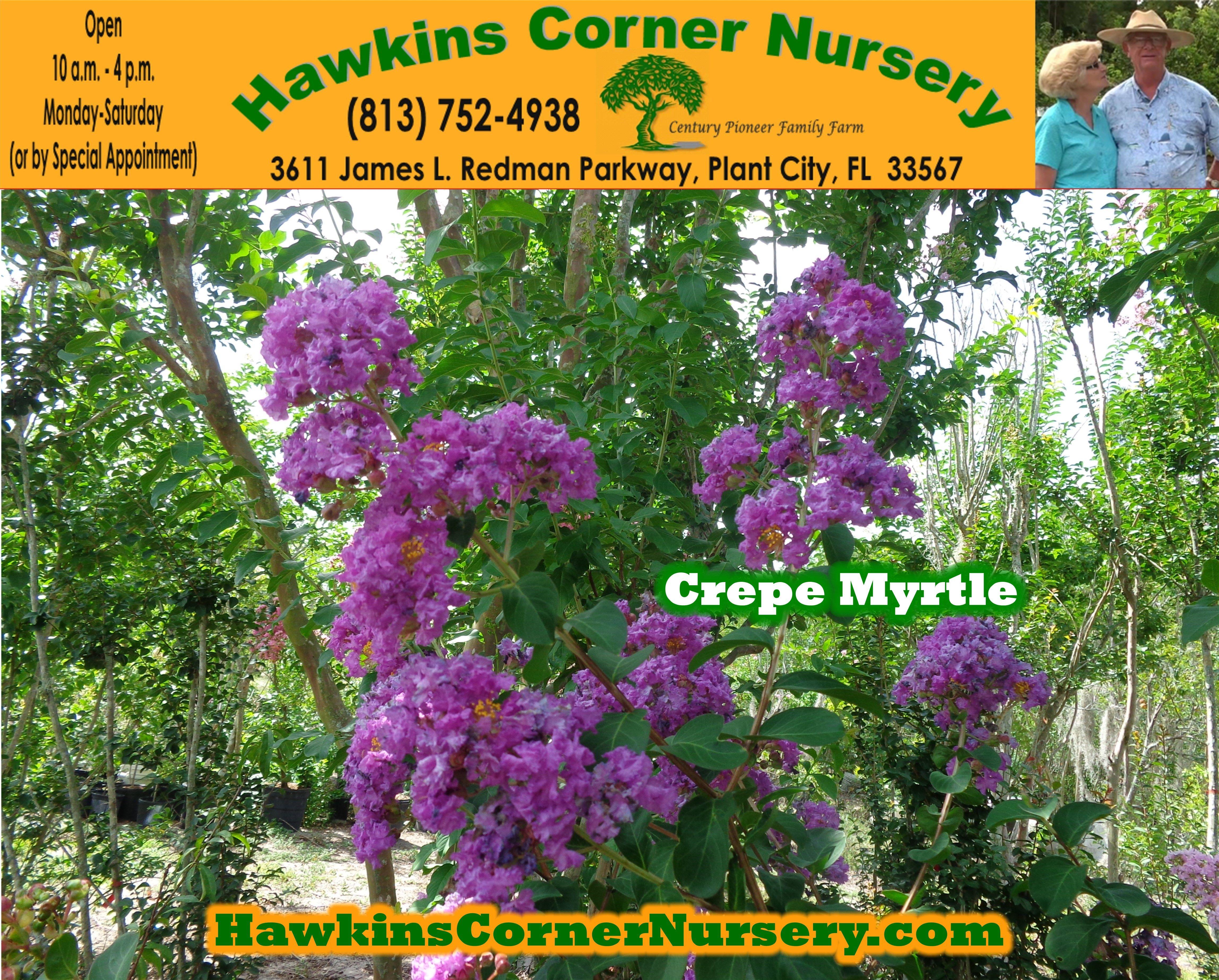 Crepe Myrtle By Hawkins Corner Nursery Plant City Fl 33565 Http Www Hawkinscornernursery