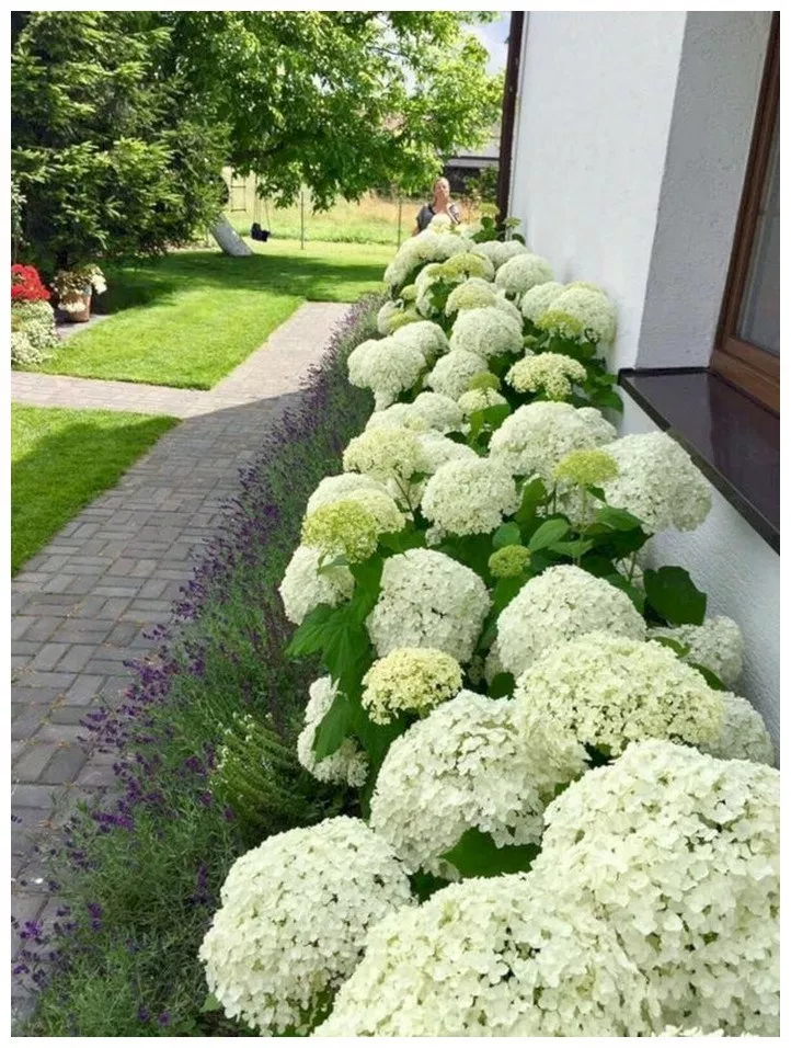 62 Cool And Beautiful Front Yard Landscaping Ideas Front Gardens Hydrangea Landscaping Front Yard Landscaping