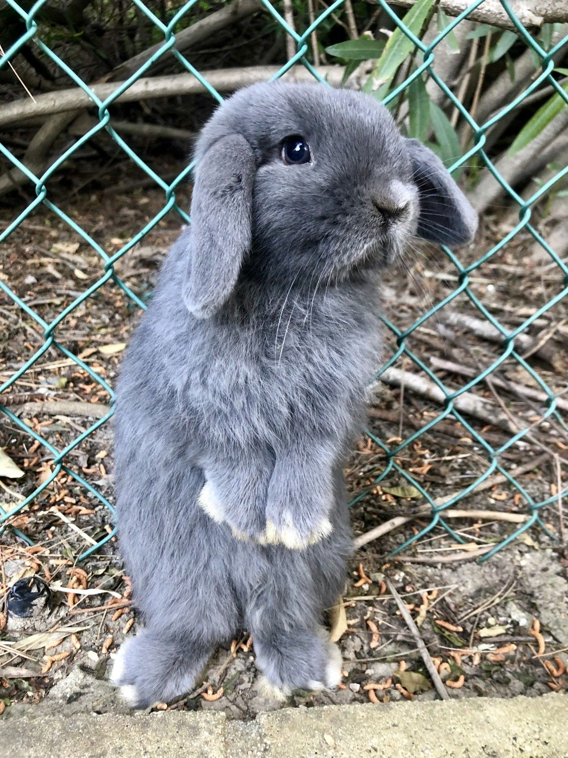 Grey Bunnies For Sale : bunnies, Holland, Rabbits, Anaheim, Hills,, Bunnies, Sale,