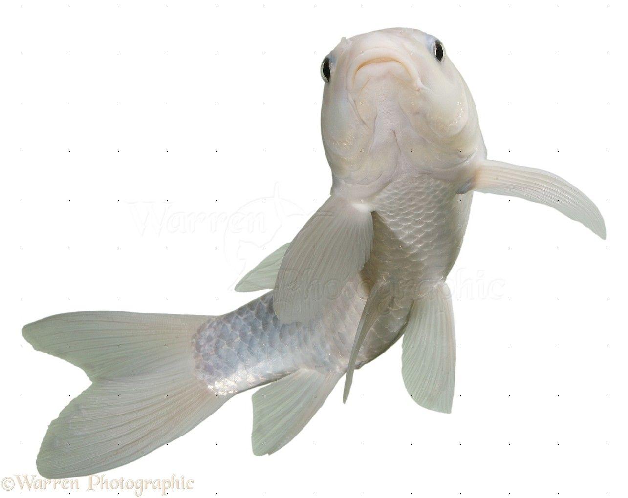 18014 white koi carp white 1285 1020 for White koi carp