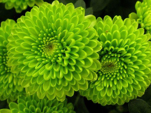 All Green Chrysanthemum Flowers Chrysanthemum Flower Seeds Chrysanthemum Flower Flower Seeds