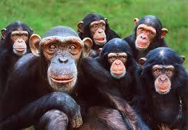 Los primates son un orden de mamíferos al que pertenecen los humanos y sus parientes más cercanos.  El orden Primates se divide en dos subórdenes, estrepsirrinos, que incluye los lémures y los loris; y haplorrinos, que incluye a los tarseros, los monos, los gibones, los grandes simios y los humanos. Se conocen unos 150 géneros, de los cuales dos terceras pa