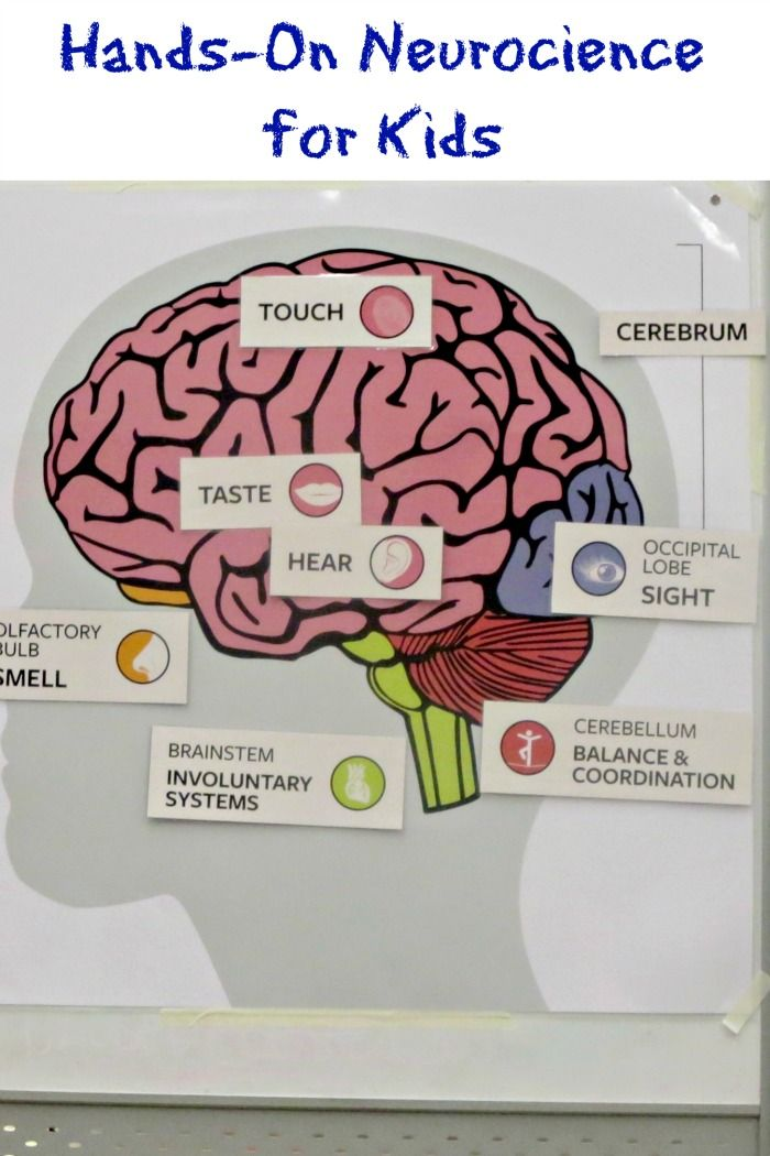 Hands On Neuroscience for Kids | Neuroscience, Brain and Human body