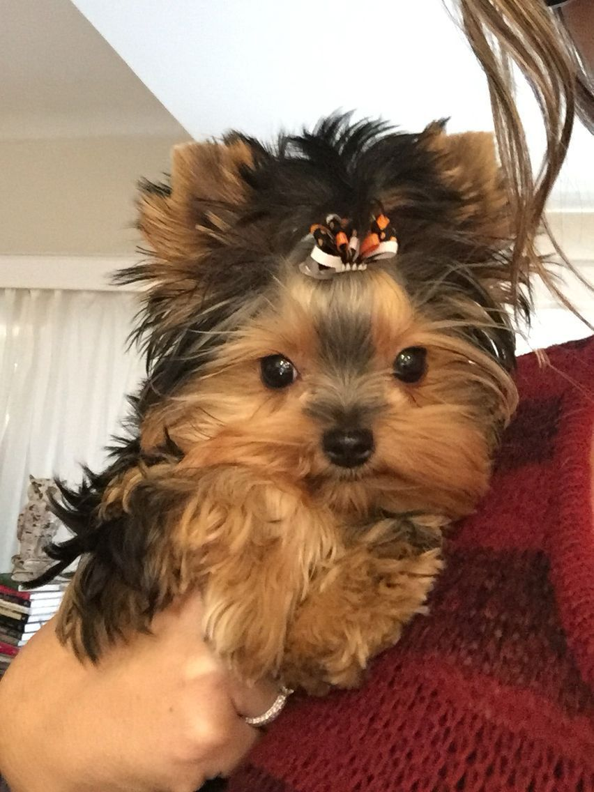 Cute teacup yorkshire terrier dog yorkshireterrier