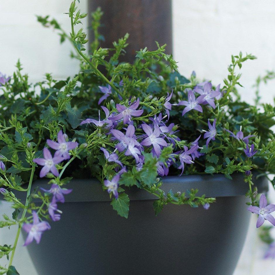 Bellflower Campanula Plants Planting Flowers