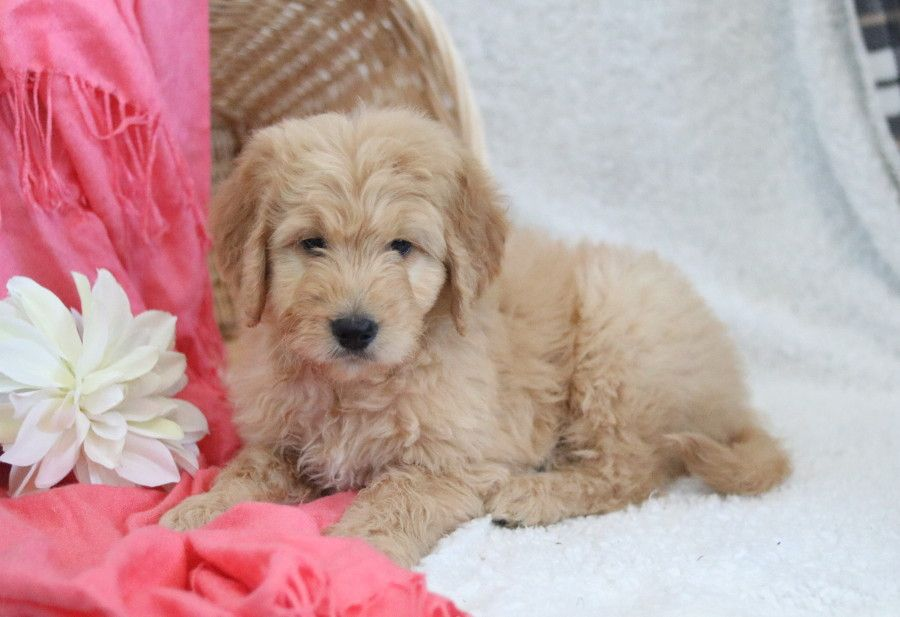 Cuddly Playful And Energetic Is What You Call This Goldedoodle Puppy Known As Dexter Pu Goldendoodle Puppy Goldendoodle Goldendoodle Puppy For Sale