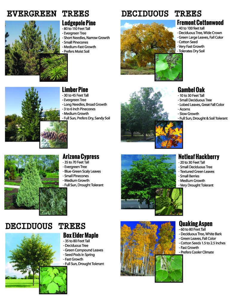 Tree Program Brochure 2016 8 5x11 Back 2 Of 2 Fast Growing Trees