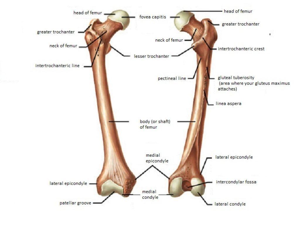 Anatomy Of Femur Bone Long Bone Femur Label Femur These Bones Of Mine Anatomy Human Body Joints Anatomy Human Body Anatomy Body Anatomy