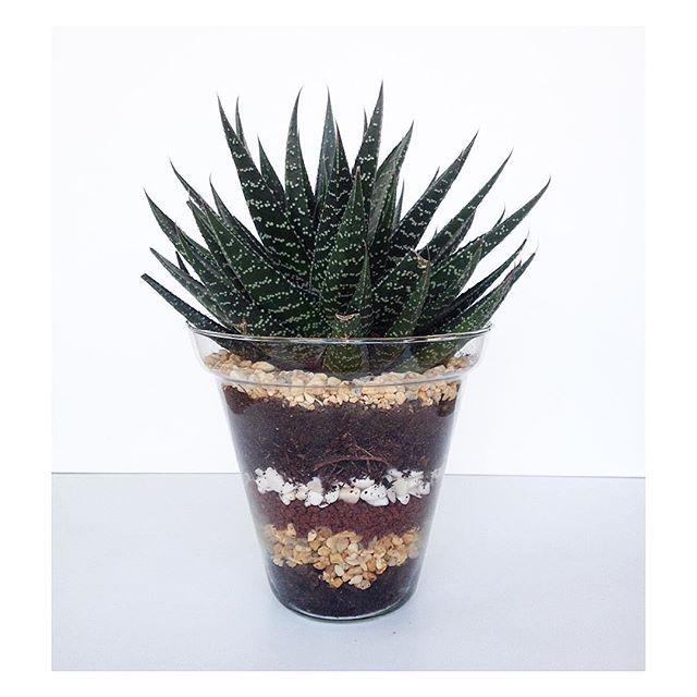 macetas de vidrio en @latitudgallery #cactus #suculenta #piedras
