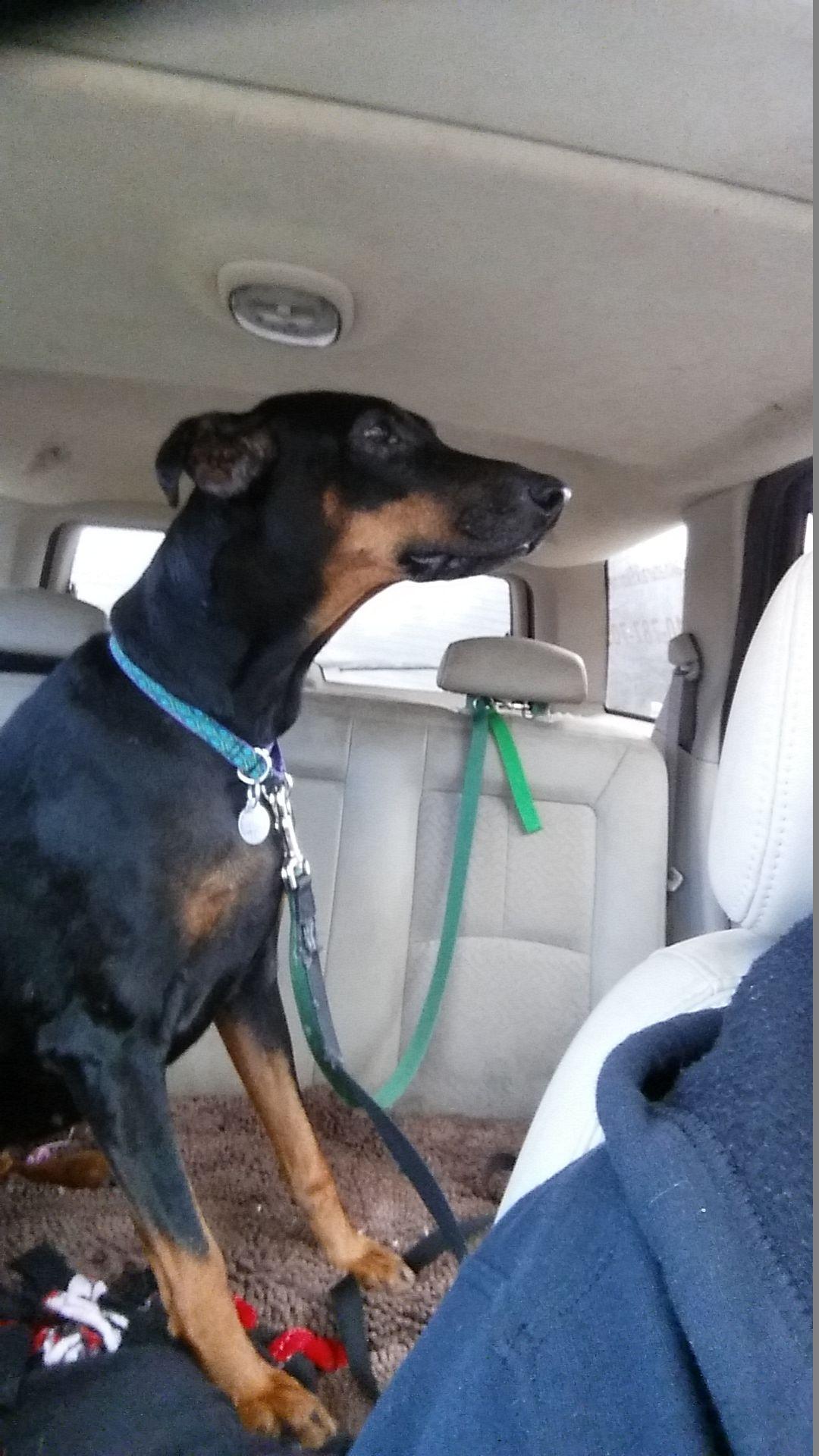 Doberman Pinscher dog for Adoption in Bristolville, OH