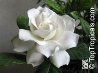 Gardenia augusta, Gardenia jasminoides, Bush Gardenia, Cape Jasmine, Bunga Cina, Bush Gardenia
