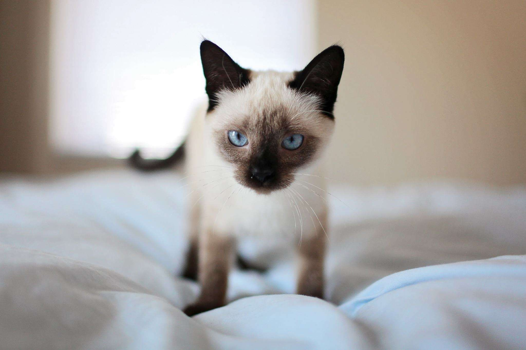 adorable #animal #bed #blue eyes #blur #cat #close up #cute #depth ...