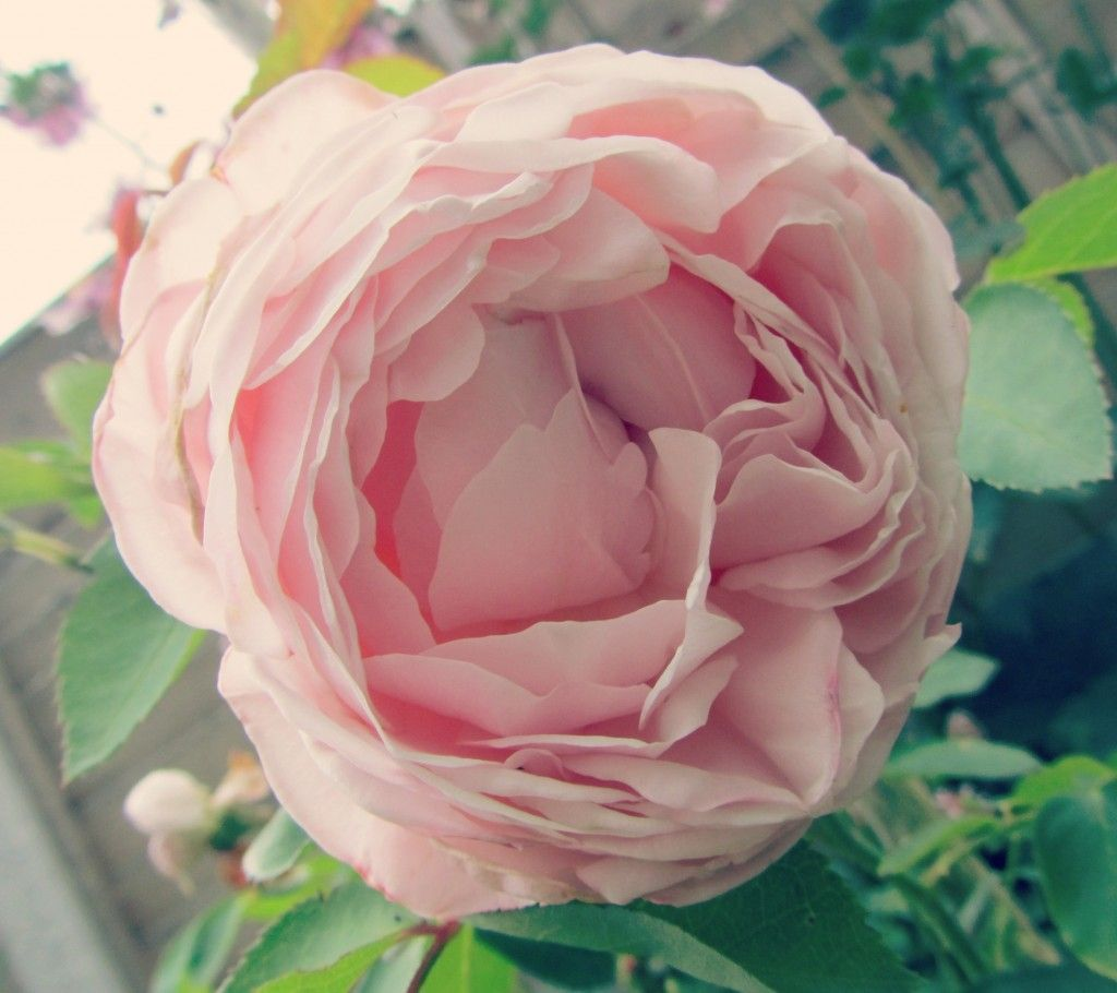 Light pink rose in August garden UK  #rose
