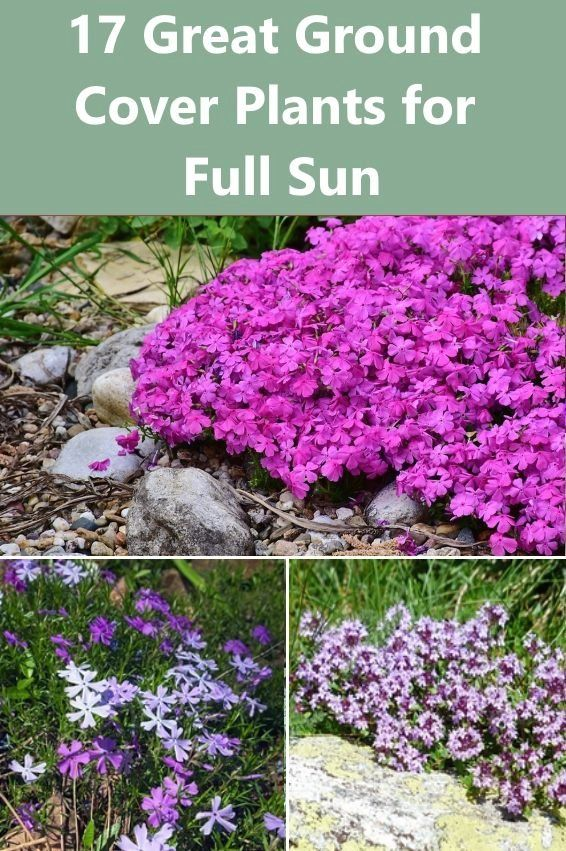 Perennial Ground Cover Full Sun: 17 Great Ground Cover Plants For Full Sun
