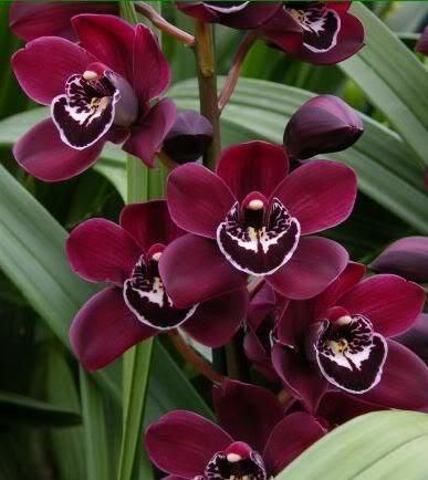 Cymbidium Orchid Ruby Valley Clare Orchid Varieties Cymbidium Orchids Orchids