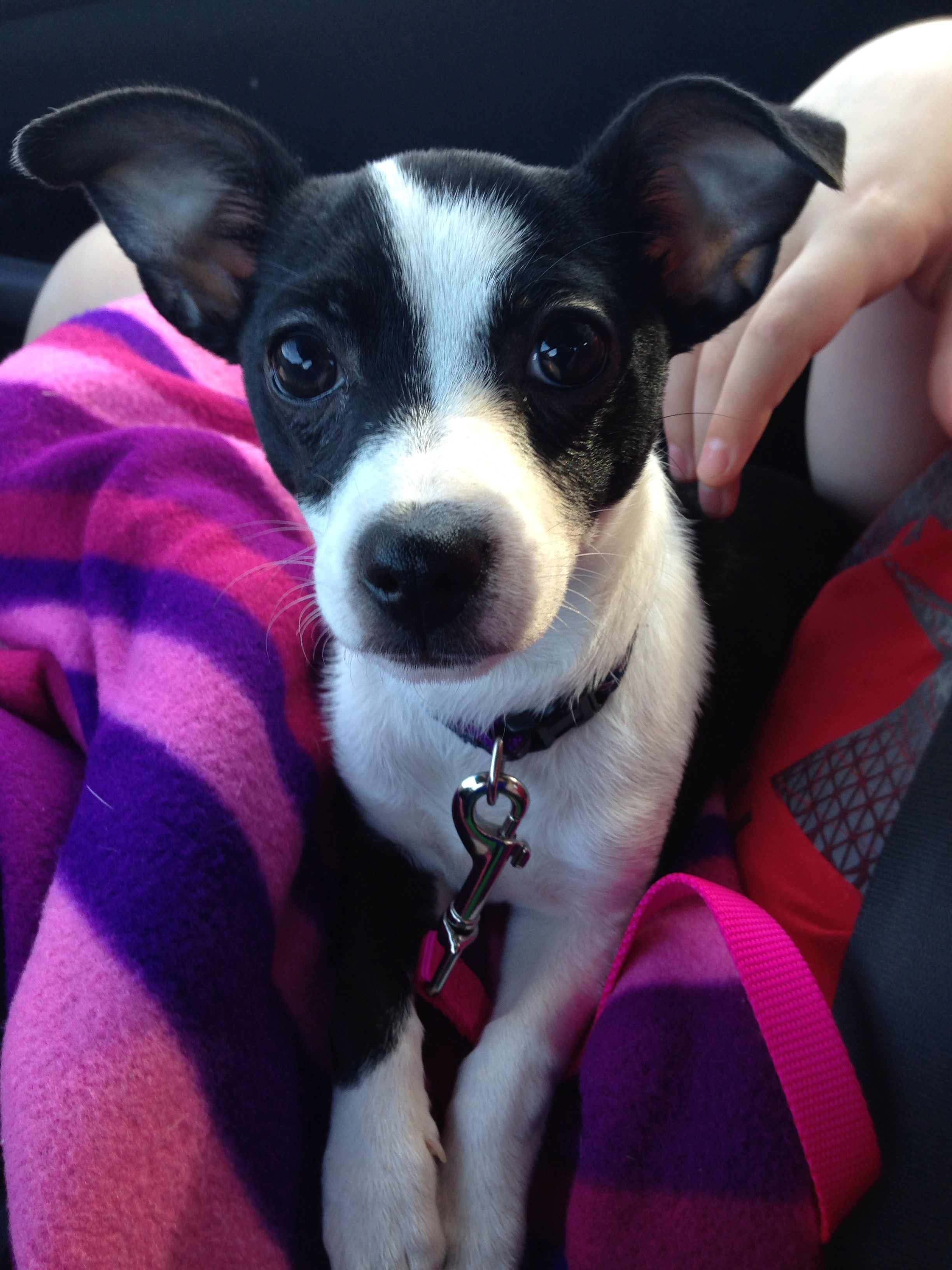 My angel Gracie! She is a rescue puppy and is a chihuahua/jack ...