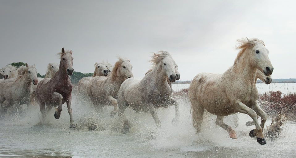 went horseback riding on this ancient breed of white horses on the beaches of Camargue, France
