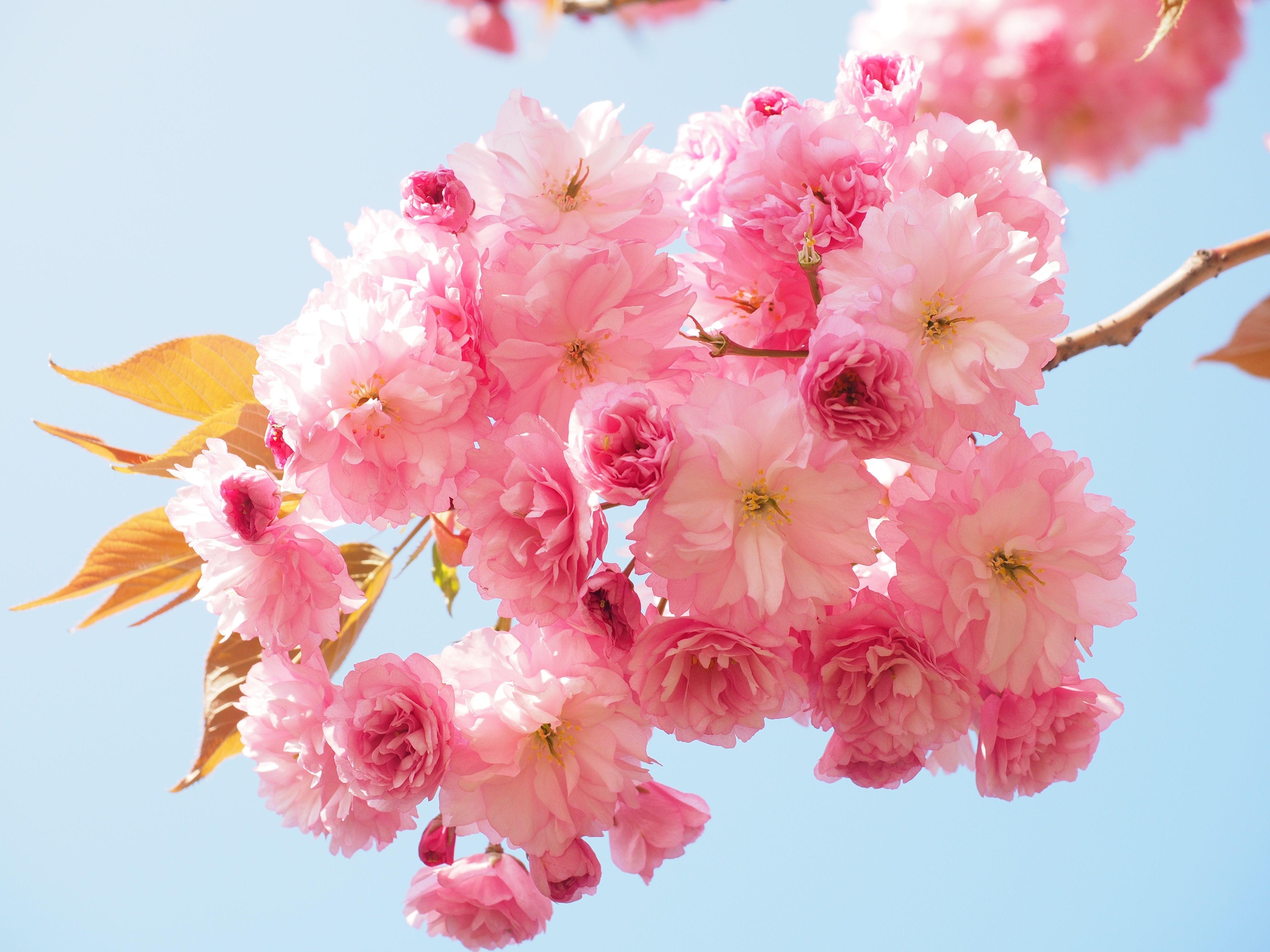 Pin By Your Spring Decor On Korsbarsblommor Japanese Flowers Beautiful Flowers Cherry Blossom Art