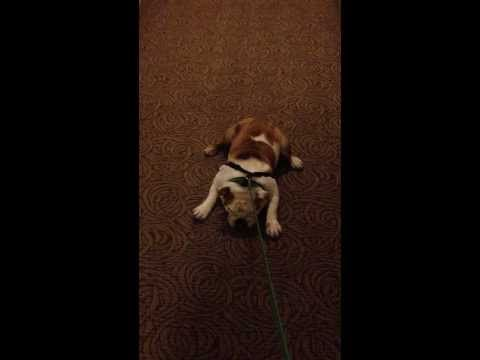 My Stubborn Bulldog Will Not Walk Bulldog Bulldog Puppies