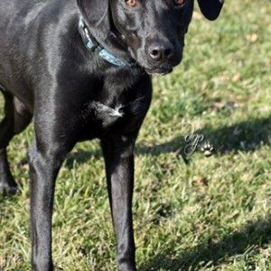 Ohio Meet Truman A Beautiful Young Male Black Labrador Retriever Mix Dog In Findlay Animal Control Brough Black Labrador Retriever Black Labrador Animals
