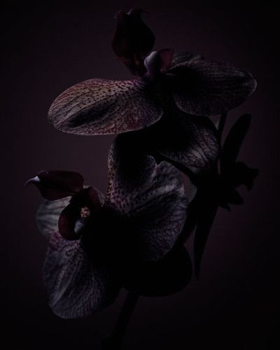 Pin By Aquiesse Aesthetic Scents On Botany Black Orchid Black Flowers Tom Ford Black Orchid