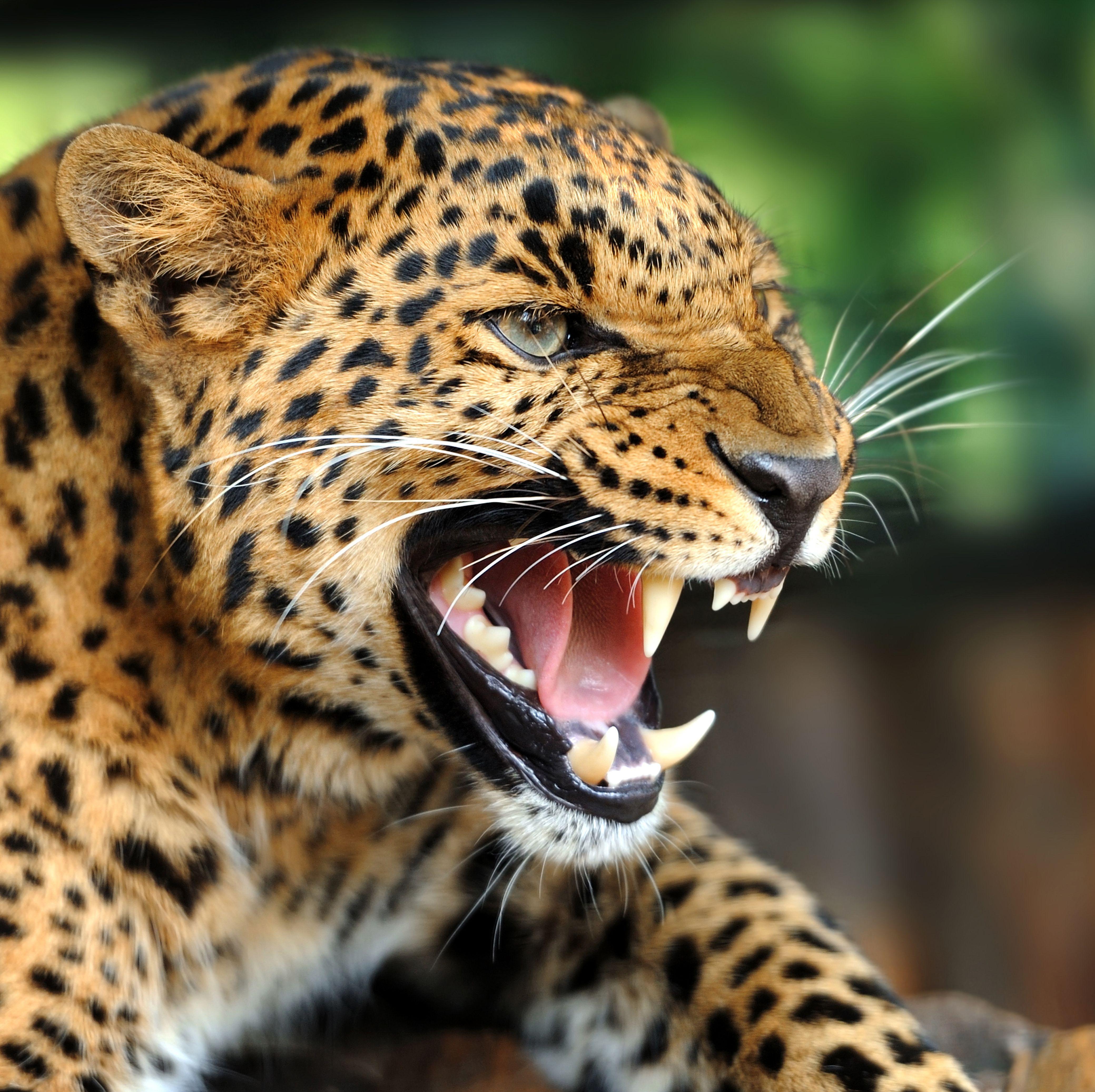 Angry Jaguar: Animals Beautiful, Animals, Cool Pets