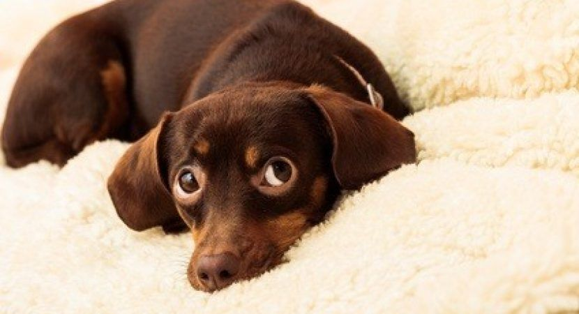 20 Cool Facts To Learn About Dachshunds Dachshund Dog Breeds Dachshund Love Popular Dog Breeds