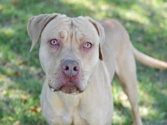 American Staffordshire Terrier dog for Adoption in Fort