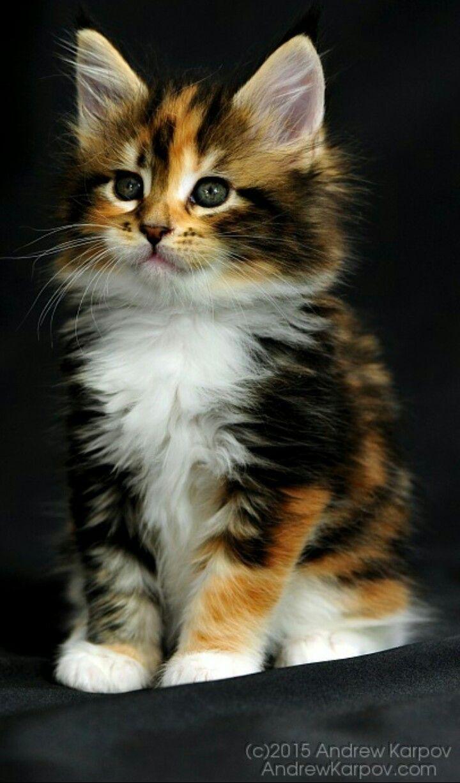 Kitty Kitty Ooooooooooooooo 3 X Cats Cute Animals Baby Cats