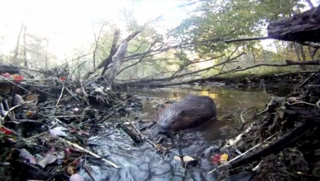 Watch a family of beavers in the their lodge live in Quebec's Gatineau region.